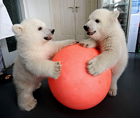 China Polar Bear Cubs